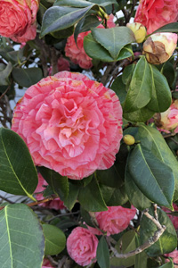 Pink Camellia flower by Fellowship Hall door
